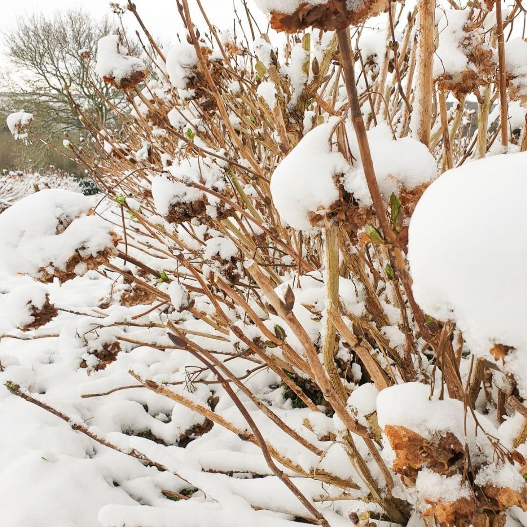 Hortensia winter