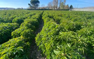 Franse Pioenen groothandel Greenflor (10)