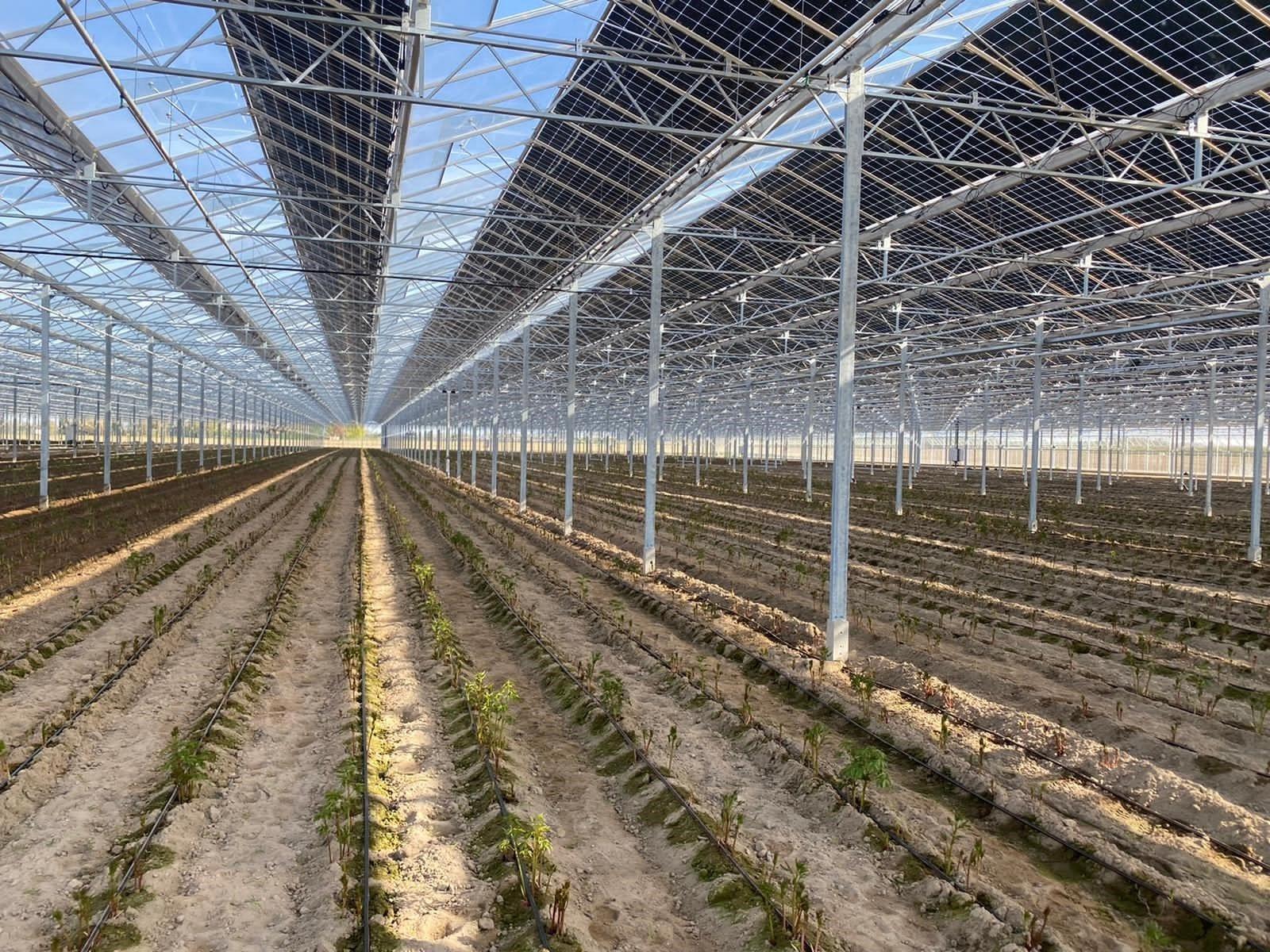 Franse Pioenen groothandel Greenflor (7)